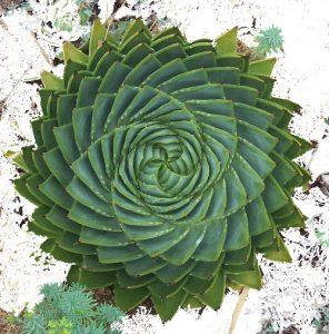 Inspiration-Aloé-vera-spirale
